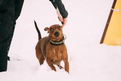 Dog Red Brown Miniature Pinscher Pincher Min Pin Zwergpinscher Royalty Free Stock Images