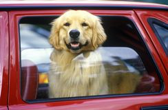 Dog in red car window, Miami, FL Stock Photography