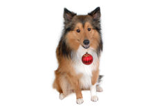 Dog with red christmas ball. Close-up Stock Photo