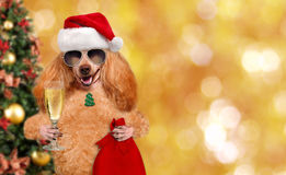 Dog in red Christmas hat with gift and champagne. Stock Images