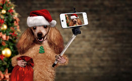 Dog in red Christmas hat taking a selfie together with a smartphone. Stock Photo