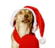 Dog in red christmas Santa hat looking up. isolated on white bac Stock Image