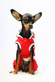 Dog in red clothes Royalty Free Stock Images