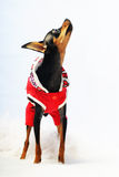 Dog in red clothes Royalty Free Stock Image