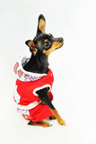 Dog in red clothes Stock Photo