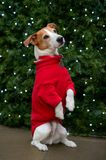 Dog in red coat begging by Christmas tree. Parson Jack Russell terrier in a red coat sitting up and begging in front of a Christmas tree Royalty Free Stock Photos