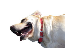Dog with red collar Stock Images