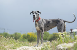 dog in a red collar stand near the field plants Stock Image