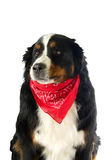 Dog with a red handkerchief Stock Images