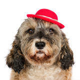 Dog with red hat Stock Image