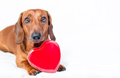 Dog with red heart Stock Photography