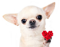 Dog with red heart Royalty Free Stock Photos