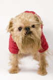 Dog  in the red jacket Royalty Free Stock Photography
