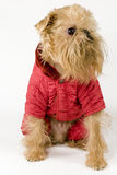 Dog in a red jacket. Stock Photos