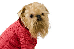 Dog  in the red jacket Stock Images