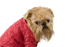 Dog  in the red jacket Royalty Free Stock Photo