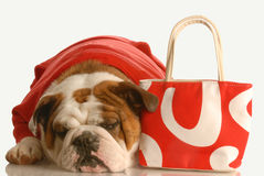 Dog with red purse. English bulldog laying down beside red purse on white background Royalty Free Stock Photo