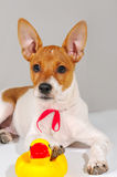 A dog with a red ribbon Stock Photos