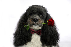 Dog with red  rose. Dog holding red rose in his mouth Royalty Free Stock Photography