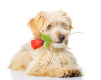 Dog with a red rose. Royalty Free Stock Photography