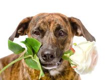 Dog with a red rose. isolated on white background Royalty Free Stock Image