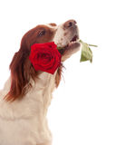 Dog with red rose in mouth Stock Photo