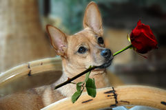 Dog with red rose Royalty Free Stock Images