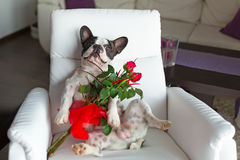 Dog with red roses on the armchair Royalty Free Stock Photography