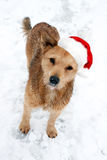 Dog in a red Santa hat. Royalty Free Stock Photos