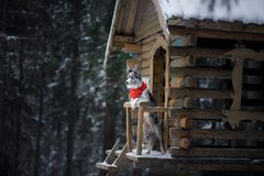 Dog in a red scarf at the wooden house. Border Collie in winter. Pet at walk stock photo