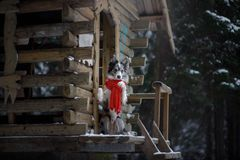 Dog in a red scarf at the wooden house. Border Collie in winter. Pet at walk stock photography