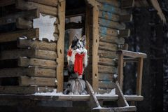 Dog in a red scarf at the wooden house. Border Collie in winter. Pet at walk royalty free stock photos