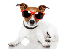 Dog with red shades on Stock Photography