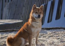 Dog-red shiba on the seafront Stock Photography