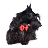 Dog in red tie Stock Photos