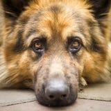Dog Royalty Free Stock Images