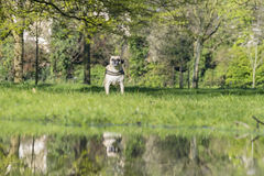 Dog with reflection Stock Images