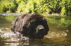 Dog refreshing in river Stock Images