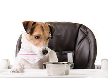 Dog refuses to eat kibble. Dog sitting and eating at baby chair Royalty Free Stock Photo