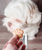 Dog refusing the cracker turning head to the side. Stock Images