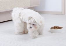 Dog refusing to eat dry food. Little dog maltese refusing eating his food from a bowl in home Stock Photos