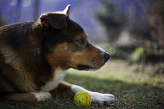Dog, Regard, Ball Stock Images