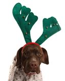 Dog with reindeer antlers. German Short Haired Pointer with reindeer antlers on Royalty Free Stock Photography