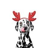 Dog in reindeer antlers Royalty Free Stock Photos
