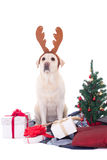 Dog in reindeer horns and christmas tree isolated on white Stock Image