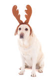 Dog in reindeer horns isolated on white Stock Photos