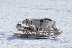 Dog on a reindeer sleigh Royalty Free Stock Photo