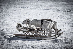 Dog on a reindeer sleigh Royalty Free Stock Photography