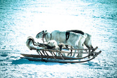 Dog on a reindeer sleigh Stock Photography