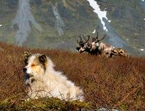 Dog and reindeers Stock Photos